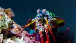 Bild Fangschreckenkrebs auf Startseite unseres Meerwasser Shop
