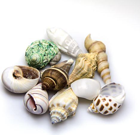 Hobby Sea Shells Set M (Schneckenhäuser 10 St.)
